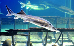Beluga sturgeon aquarium Stock Photo
