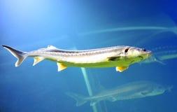 Beluga sturgeon fish Royalty Free Stock Photo