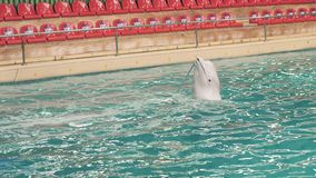 Beluga training swimming with stick in blue water in dolphinarium pool. Beluga whale training swimming with stick in blue water in dolphinarium pool. White stock video footage
