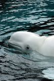 Beluga whale. Head of a beluga whale stock photos