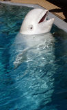 Beluga whale. Playing in clear blue water royalty free stock photos