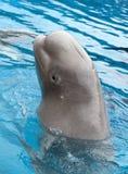 Beluga Whale Royalty Free Stock Image