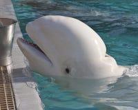 Beluga whale Royalty Free Stock Photo