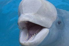Beluga whale. In a pool royalty free stock photography