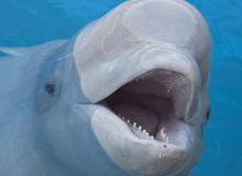 Beluga whale. In the pool stock photography