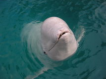 Beluga Whale. Surfacing and sticking head out of ocean water royalty free stock photography