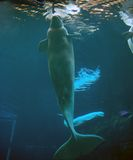 Beluga whale royalty free stock photo