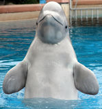Beluga Whale above water Royalty Free Stock Photo