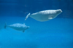 Beluga whale and baby Royalty Free Stock Images