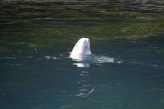 Beluga whale calf in the aquarium. Canada Stock Photos