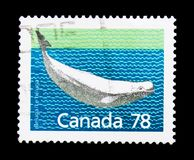 Beluga Whale Delphinapterus leucas, Definitives 1988-93: Canadian Mammals serie, circa 1990. MOSCOW, RUSSIA - NOVEMBER 24, 2017: A stamp printed in Canada shows Stock Photos