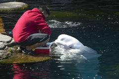 Beluga whale feeding in the aquarium Stock Image