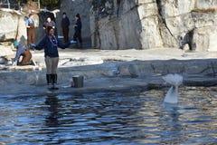 Beluga whale feeding at Mystic Aquarium in Connecticut Stock Photography