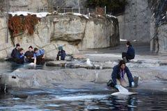 Beluga whale feeding at Mystic Aquarium in Connecticut Royalty Free Stock Image