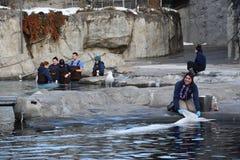 Beluga whale feeding at Mystic Aquarium in Connecticut Stock Photos