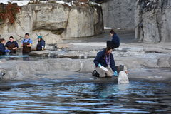 Beluga whale feeding at Mystic Aquarium in Connecticut Royalty Free Stock Images