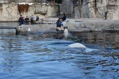 Beluga whale feeding at Mystic Aquarium in Connecticut Royalty Free Stock Photo