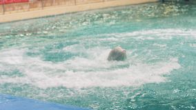 Beluga whale jumping and diving in swimming pool on performance in dolphinarium. Beluga whale jumping and diving in water swimming pool during performance in stock footage