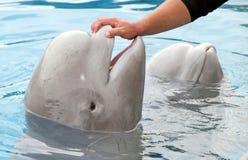 Beluga Whale Love Stock Image