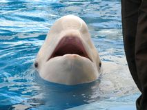 Beluga whale in the pool. Beluga on the edge of the pool Royalty Free Stock Photos