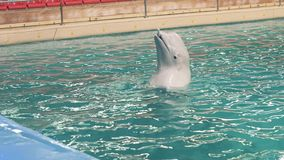 Beluga whale swimming with stick in water during training in dolphinarium pool. White beluga whale swimming with stick in water during training in dolphinarium stock footage