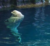 Beluga whale taking a peak at dinner stock photos