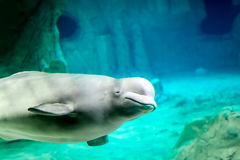 Beluga whale underwater Royalty Free Stock Photography