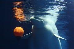 Beluga whale Stock Image