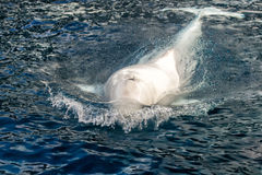Beluga whale white dolphin portrait. While coming to you stock photos