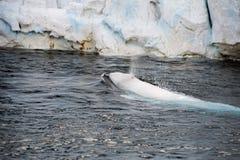 Beluga whale white dolphin portrait Stock Photo