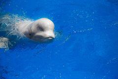 Beluga whale white whale. In water stock photography