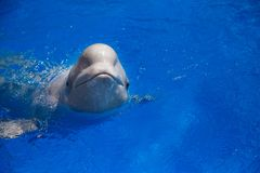 Beluga whale white whale. In water stock images