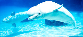 Beluga whales stock photography