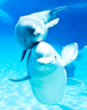 Beluga whales. Friendly beluga whales in a beautiful blue background Stock Photo