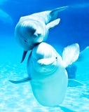 Beluga Whales Stock Photo