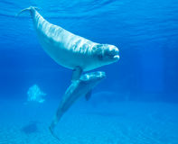 Beluga Whales. Friendly beluga whales in underwater viewing royalty free stock photography