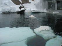Beluga whales Royalty Free Stock Photo
