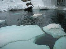 Beluga whales Stock Photos