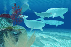 Beluga Whales Royalty Free Stock Photography