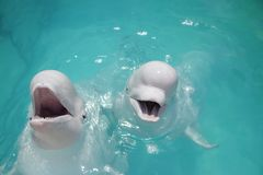 Beluga whales (white whale) in water Royalty Free Stock Photo