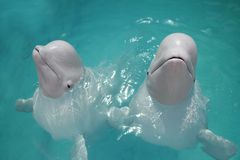 Beluga whales (white whale) in water Royalty Free Stock Photos
