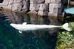 A Beluga white dolphin portrait. In water stock photos