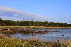 Belugafjärd, det vita havet Fotografering för Bildbyråer