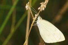 Belyanka-Lat Pieridae - Schmetterlinge mit weißen Flügeln und mit einer clavate Antenne Stockbild