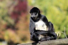 belzebuth Branco-inchado do Ateles do macaco de aranha Fotografia de Stock