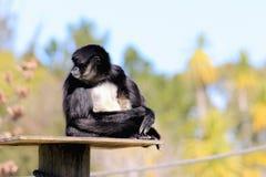 belzebuth Branco-inchado do Ateles do macaco de aranha Imagens de Stock Royalty Free