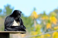 belzebuth Branco-inchado do Ateles do macaco de aranha Imagem de Stock Royalty Free