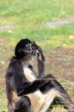 belzebuth Branco-inchado do Ateles do macaco de aranha Foto de Stock Royalty Free