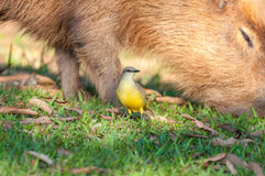 Bem Te Vi bird in front of a capybara that is feeding of grass. Stock Image