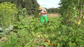 Bemannen Sie das Ernten der Zucchini mit Messer und tragen Sie Gemüse in seinem Garten 4K stock video